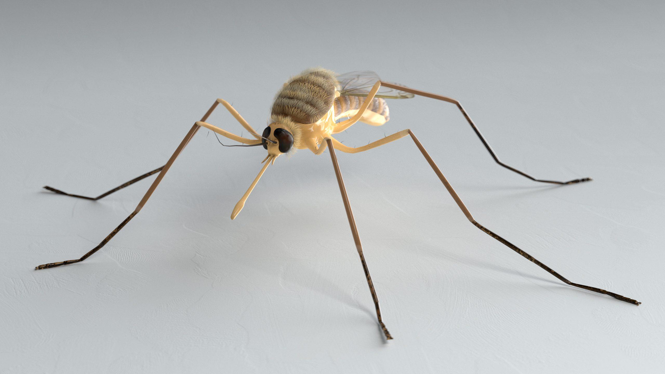 Steekmug (Culicidae) 3D Model